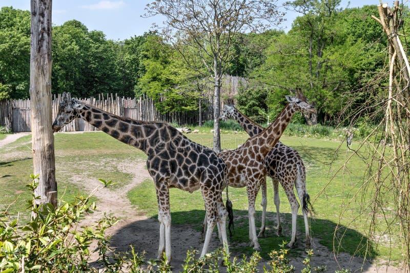 Giraf drie in de schaduw van de bomen royalty-vrije stock foto