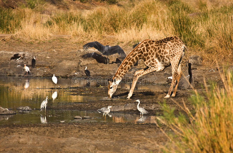 Giraf drinkwater, Kruger, Zuid-Afrika royalty-vrije stock afbeeldingen