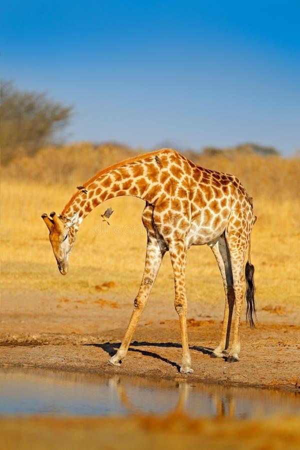 Giraf drinkwater van het meer, die oranje licht, groot dier in de aardhabitat gelijk maken in Botswana, Afrika Grote Afrikaanse a stock foto