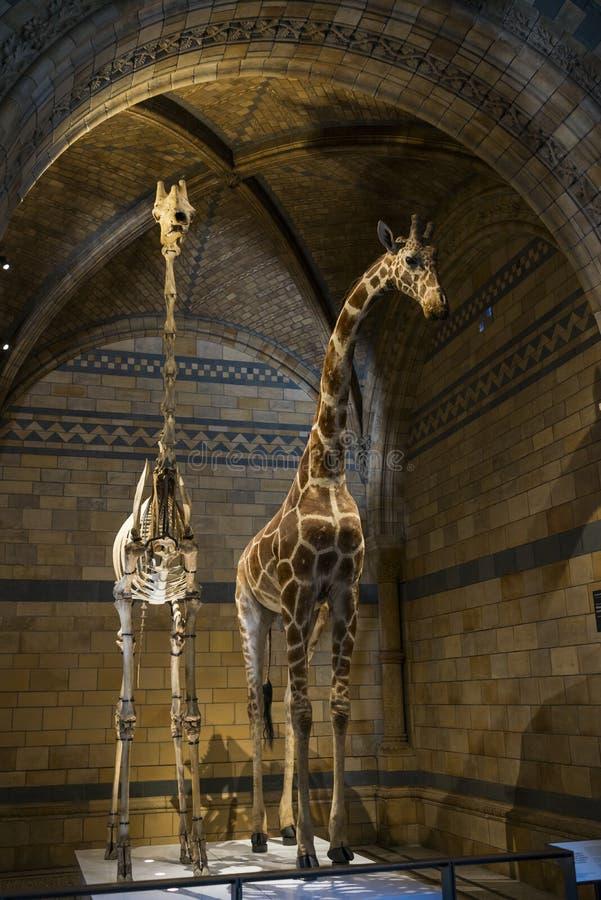 Giraf en Been royalty-vrije stock foto's