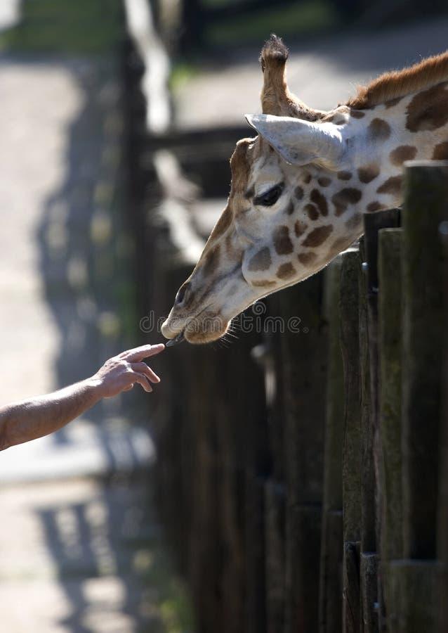 Giraf en menselijke hand stock afbeeldingen