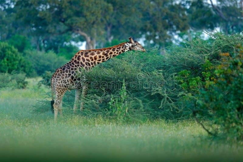 Giraf en ochtendzonsopgang Groene vegetatie met het voeden van dier Het wildscène van aard Giraf in het bos, Okavango, Bot stock foto's