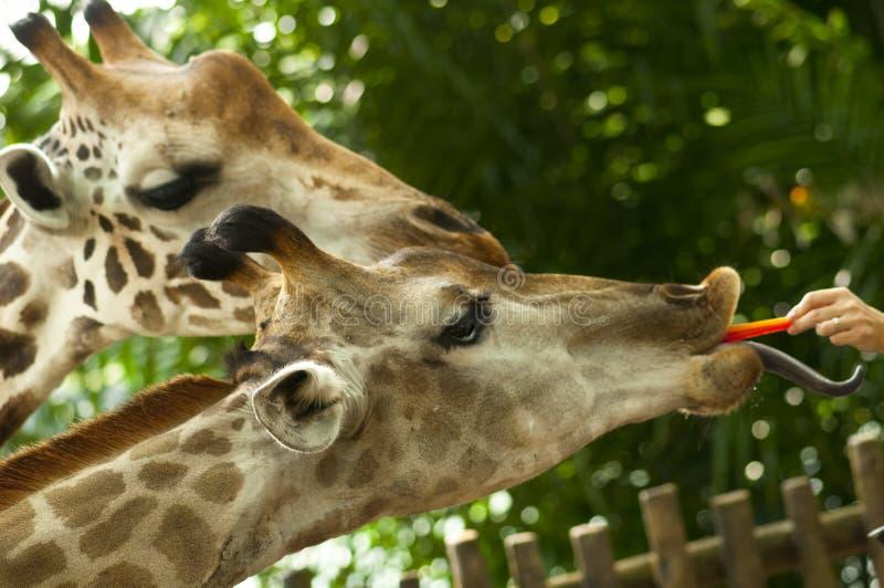 Giraf en Wortel stock fotografie