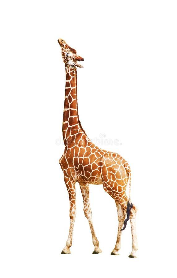 Giraf (Giraffa-camelopardalis) stock foto's