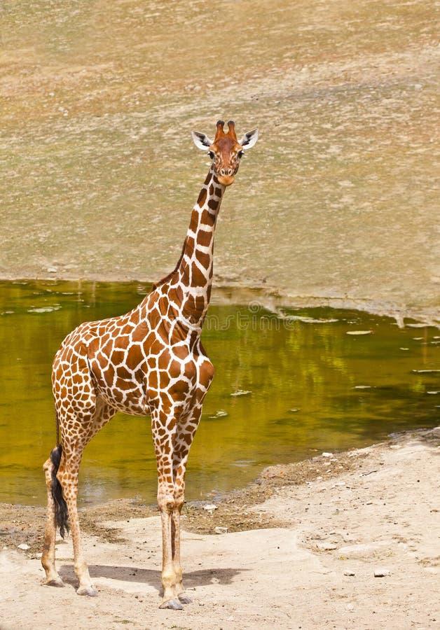 Giraf (Giraffa-camelopardalis) stock fotografie