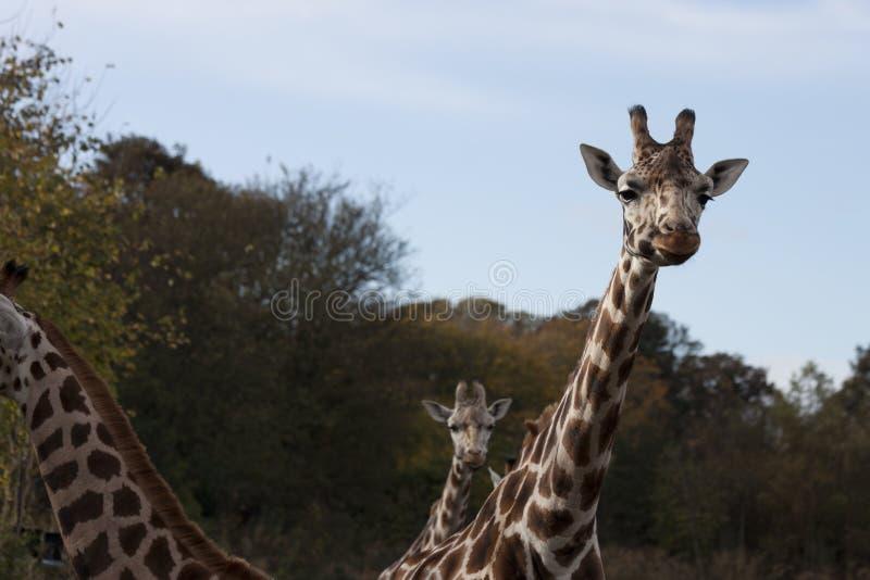 Giraf (Giraffa-camelopardalis) royalty-vrije stock afbeeldingen