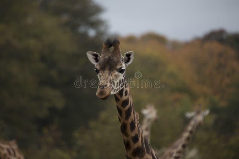 Giraf (Giraffa-camelopardalis) stock afbeeldingen