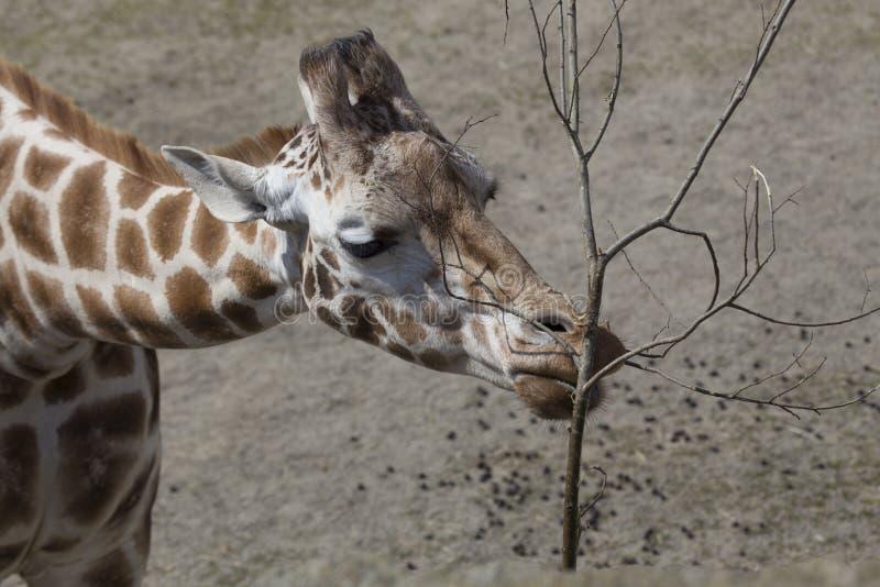 Giraf (Giraffa-camelopardalis) royalty-vrije stock fotografie