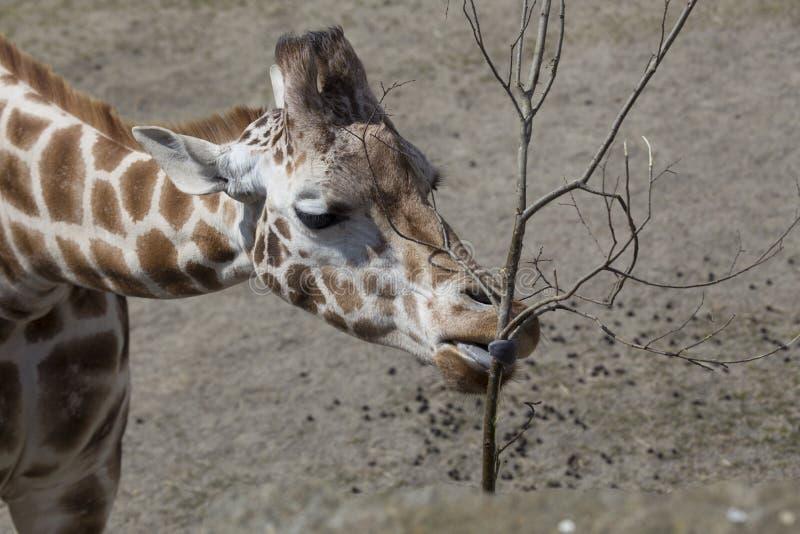 Giraf (Giraffa-camelopardalis) stock foto