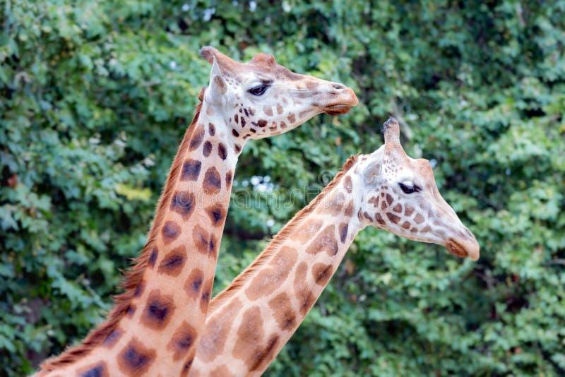 Giraf (Giraffa-camelopardalis) in de dierentuin van Antwerpen royalty-vrije stock afbeeldingen