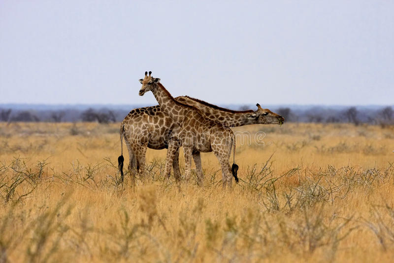 Giraf, Giraffa-camelopardalis, in het Nationale Park van Etosha, Namibië royalty-vrije stock afbeeldingen