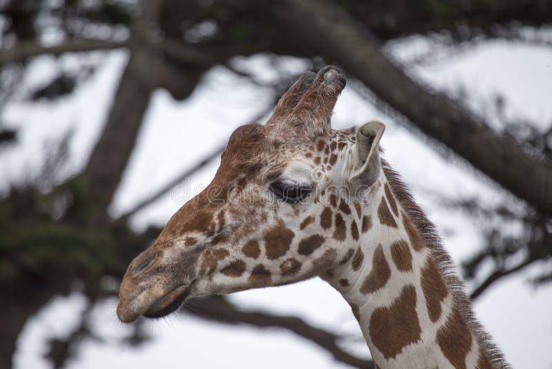 Giraf & x28; Giraffa camelopardalis& x29; stock foto's
