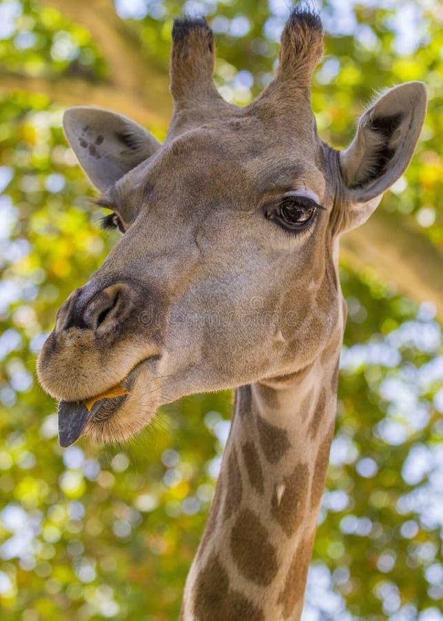 Giraf Giraffa voor bomen royalty-vrije stock foto's