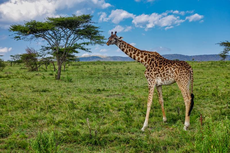 Giraf, heerlijke groene weiden en Acaciabomen van Serengeti Tanzania royalty-vrije stock foto