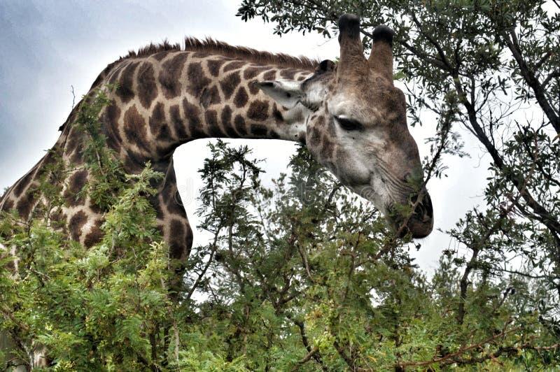 Giraf in het bos royalty-vrije stock foto