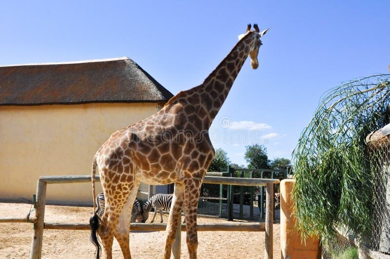 Giraf in het Dierlijke Park van Friguia. Hammamet, Tunesië. royalty-vrije stock foto's