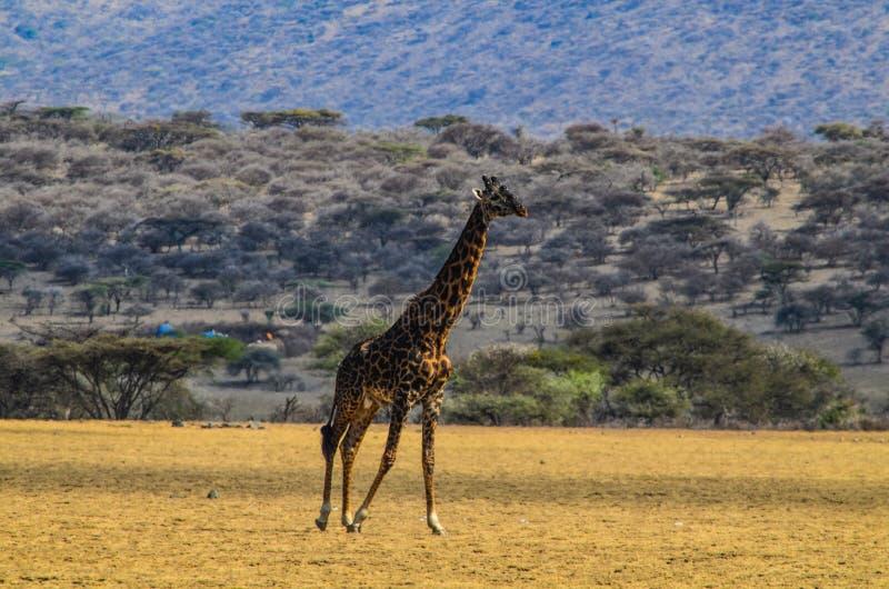 Giraf het lopen royalty-vrije stock afbeeldingen