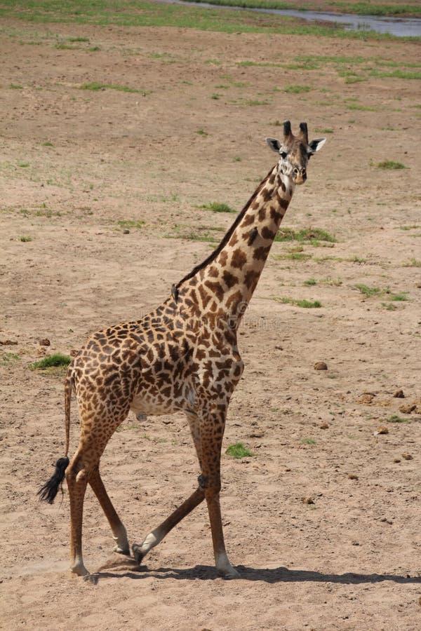 Giraf, het meest beautfully schepsel die de meeste toerist bij ruaha nationaal park aantrekt stock foto's
