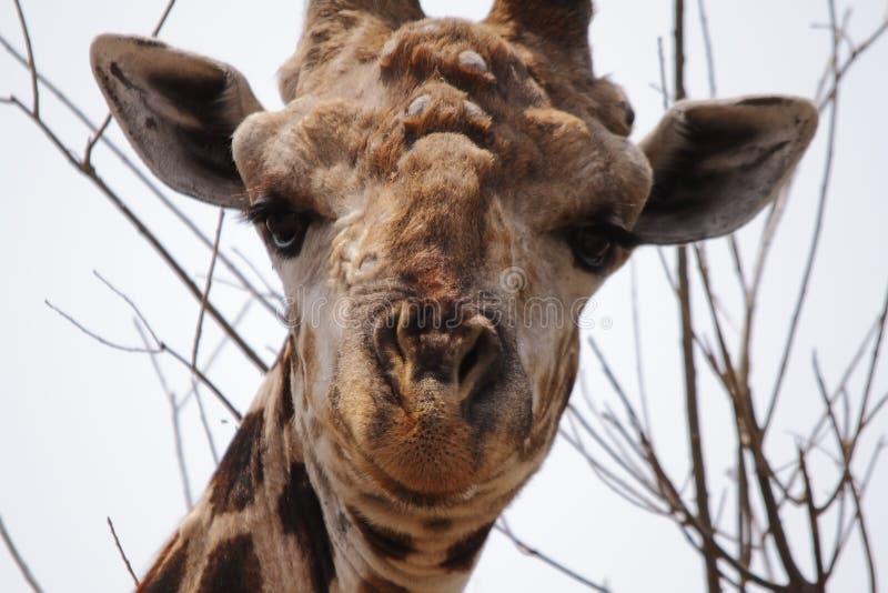 Download Giraf In Het Nationale Park Van Chobe Stock Afbeelding - Afbeelding bestaande uit reticulated, gezicht: 39110767