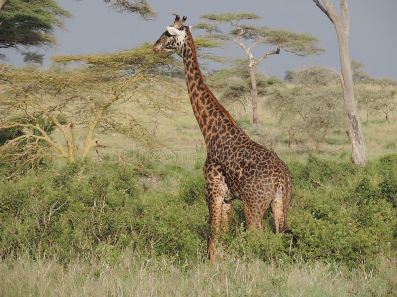 Giraf in het Nationale Park van Serengeti, Tanzania stock foto