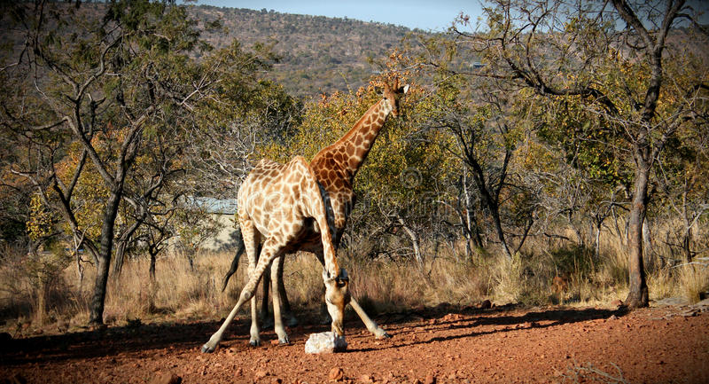 Giraf het voeden stock fotografie