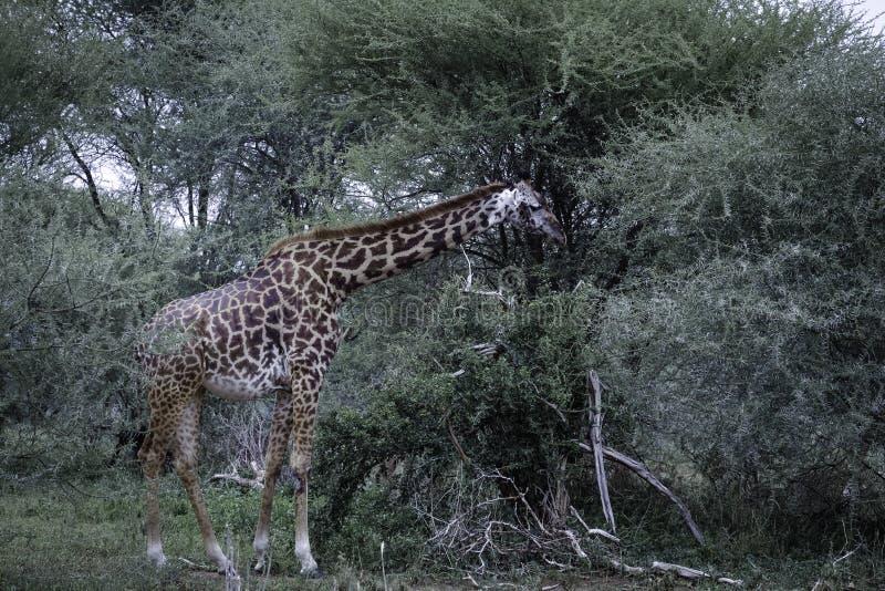 Giraf het voeden oin acaciaboom stock afbeeldingen