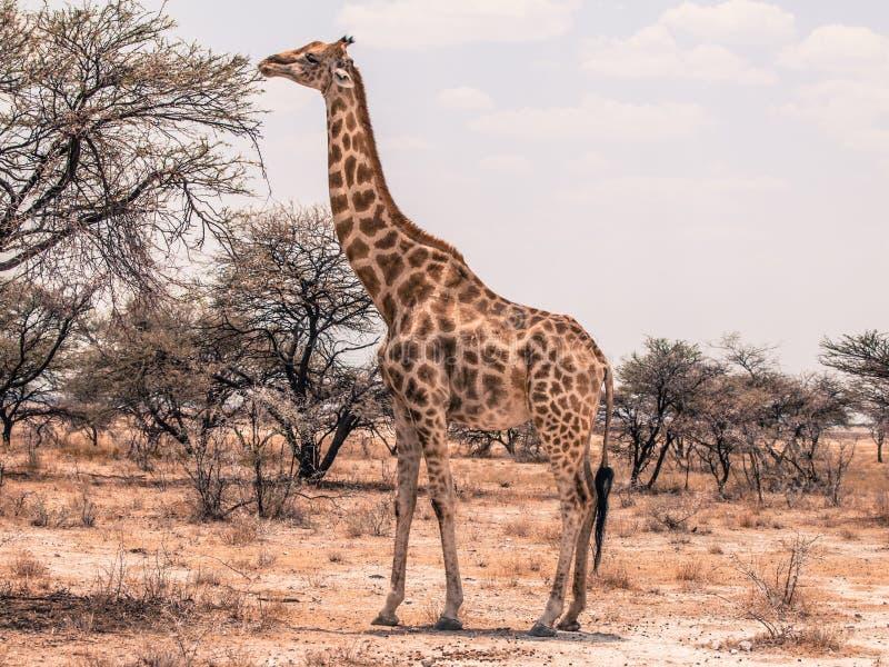Giraf het voeden van boom stock afbeelding