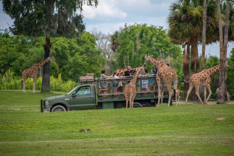 Giraf het wachten slabladeren van mensen die, safari bij Busch-Tuinen genieten van 3 stock afbeeldingen