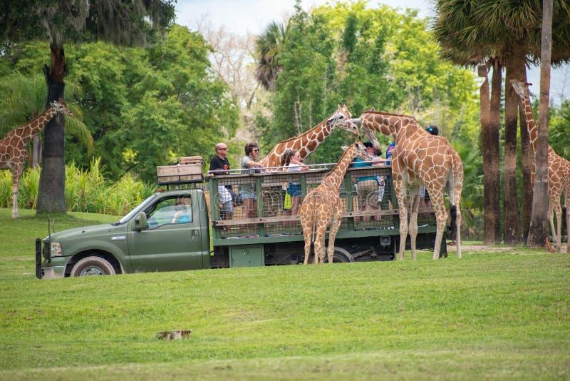 Giraf het wachten slabladeren van mensen die, safari bij Busch-Tuinen genieten van 2 royalty-vrije stock afbeelding