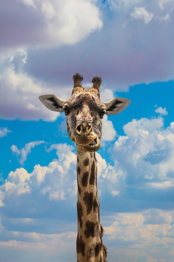 Giraf het weiden in de savanne royalty-vrije stock afbeeldingen