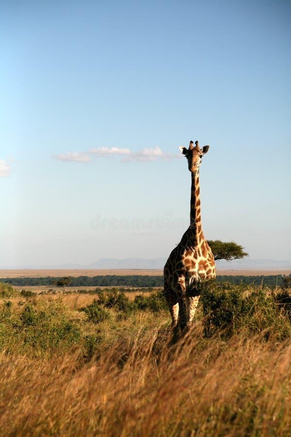 Giraf (Kenia) royalty-vrije stock foto's