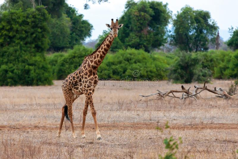 Giraf in Kenia, op safari stock afbeeldingen