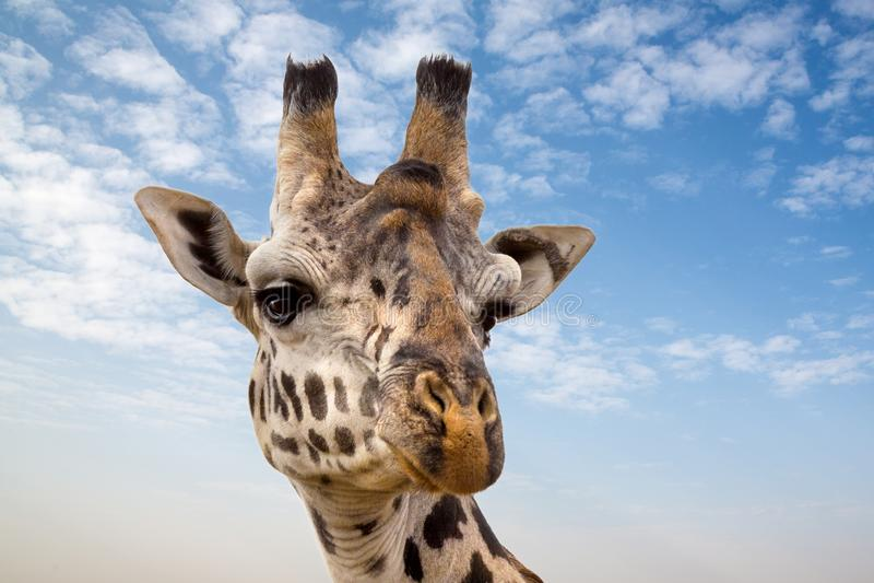 Giraf in Masai Mara royalty-vrije stock afbeelding