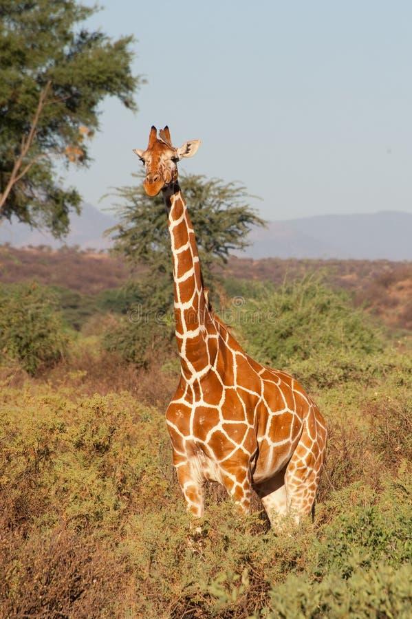 Giraf met een netvormig patroon royalty-vrije stock fotografie