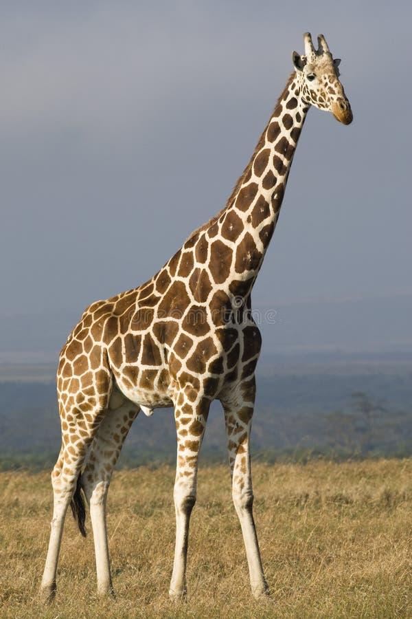 Giraf met een netvormig patroon royalty-vrije stock foto
