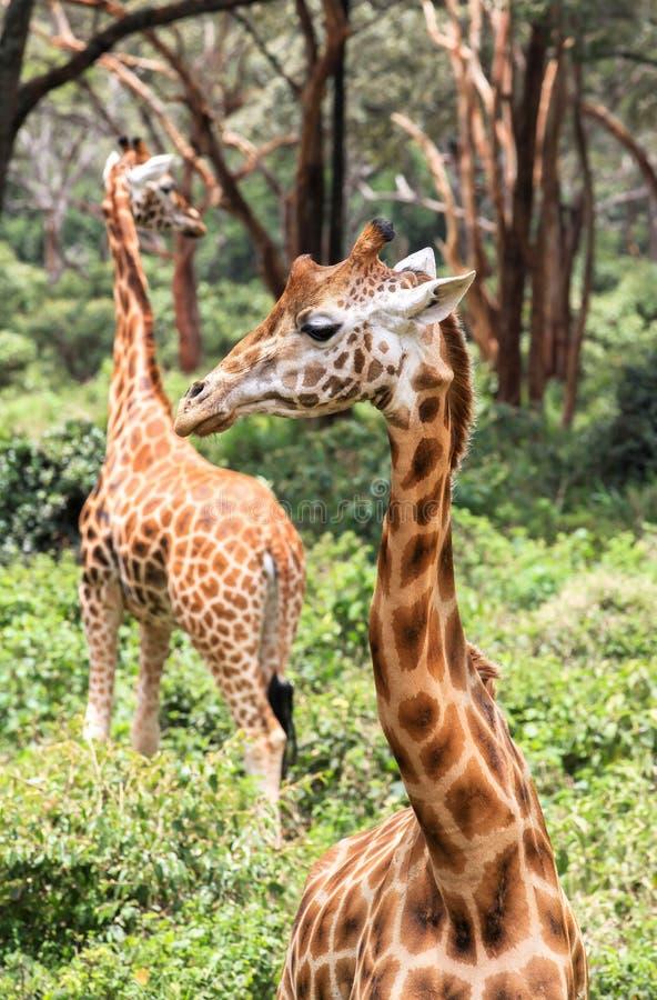 Giraf in Nairobi Kenia royalty-vrije stock fotografie