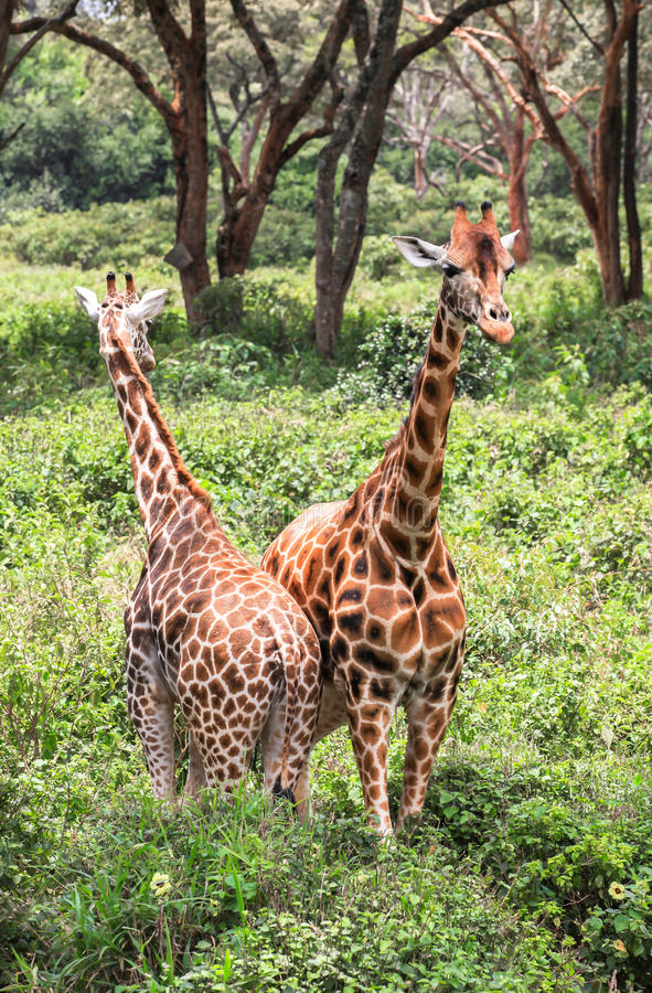 Giraf in Nairobi Kenia stock fotografie