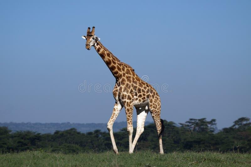 Giraf in Nakuru Nationaal Park, Kenia royalty-vrije stock foto