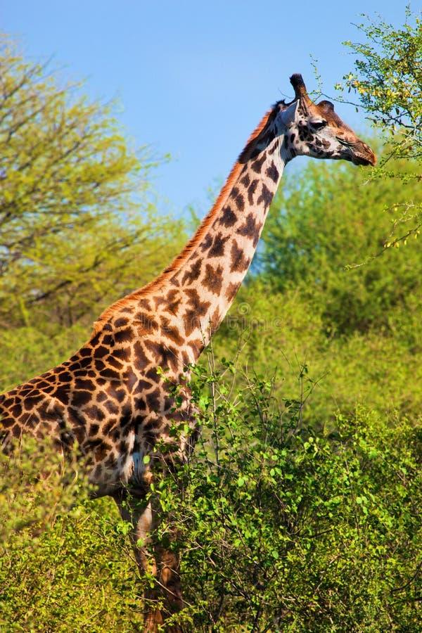 Giraf onder bomen. Safari in Serengeti, Tanzania, Afrika stock fotografie