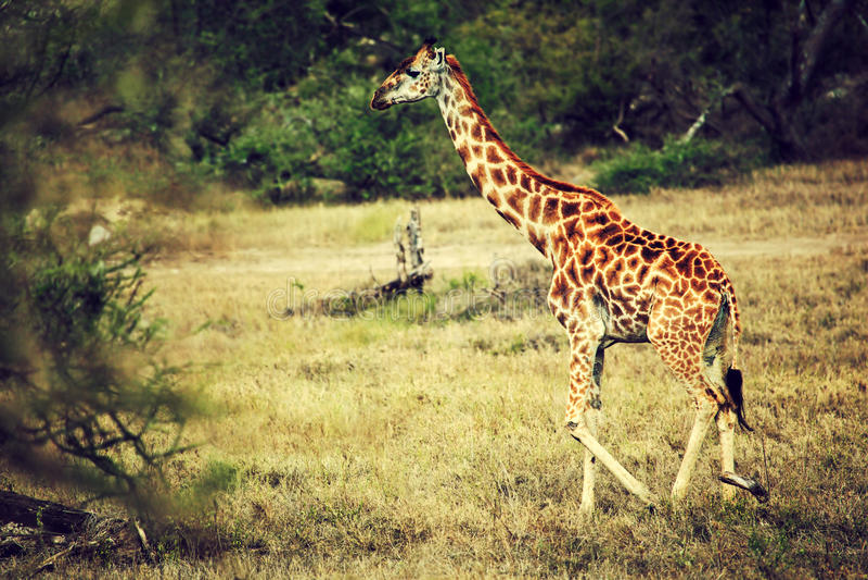 Giraf op Afrikaanse savanne royalty-vrije stock fotografie
