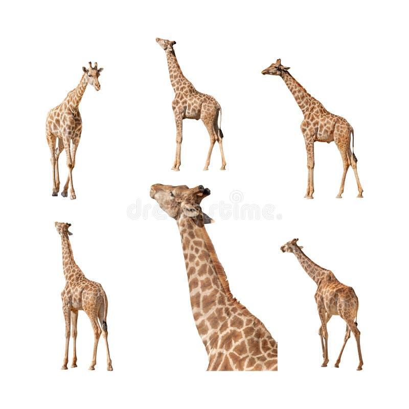 Giraf op een witte inzameling wordt geïsoleerd die als achtergrond stock afbeelding