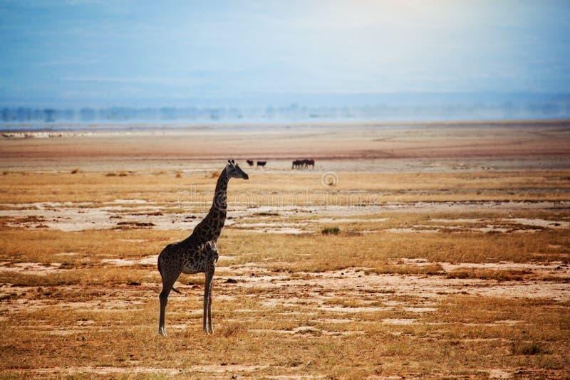 Giraf op savanne. Safari in Amboseli, Kenia, Afrika royalty-vrije stock afbeelding
