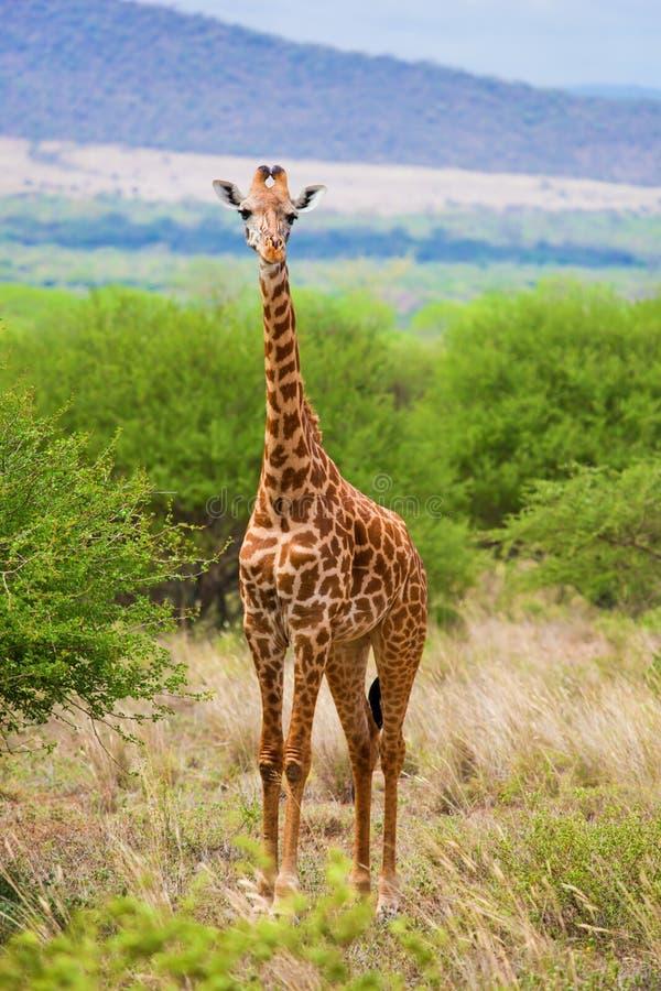 Giraf op savanne. Safari in Tsavo het Westen, Kenia, Afrika royalty-vrije stock foto