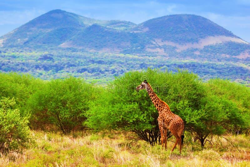 Giraf op savanne. Safari in Tsavo het Westen, Kenia, Afrika stock afbeeldingen