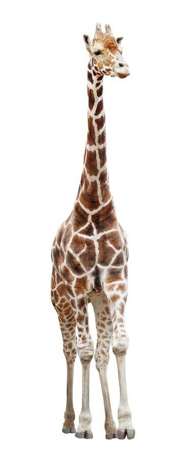 Giraf op wit wordt geïsoleerd dat royalty-vrije stock afbeeldingen