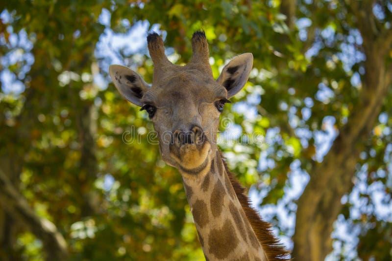 Giraf in openlucht bevlekte Giraffa royalty-vrije stock afbeelding