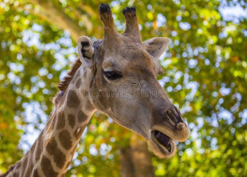 Giraf in openlucht bevlekte Giraffa royalty-vrije stock fotografie