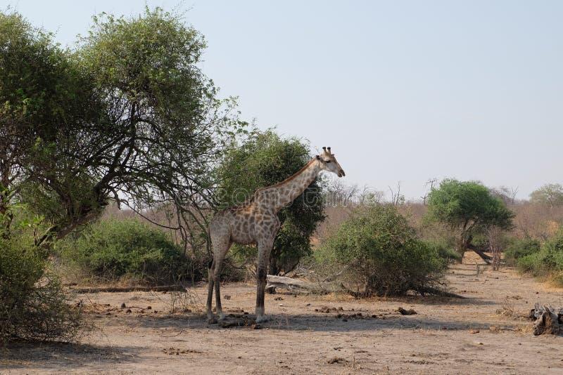Giraf på den Chobe nationalparken arkivfoto