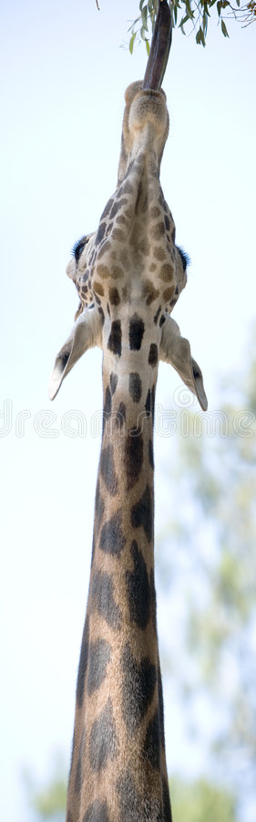 Giraf Panoramische Strech stock afbeelding