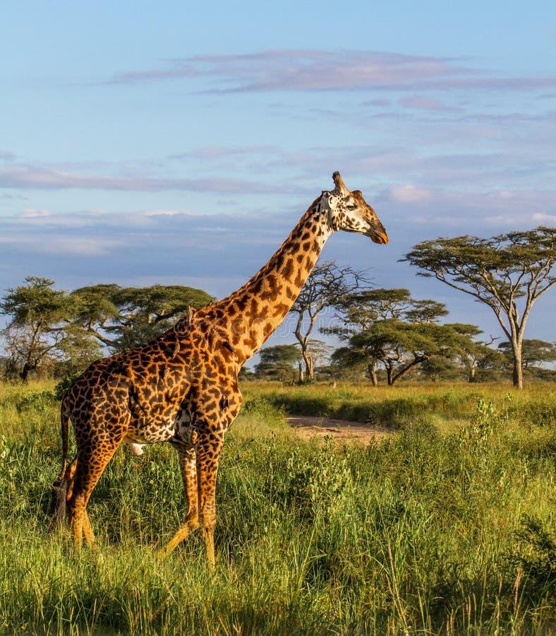 Giraf in Serengeti NP in Tanzania stock afbeelding
